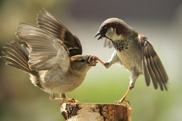 Bird fight