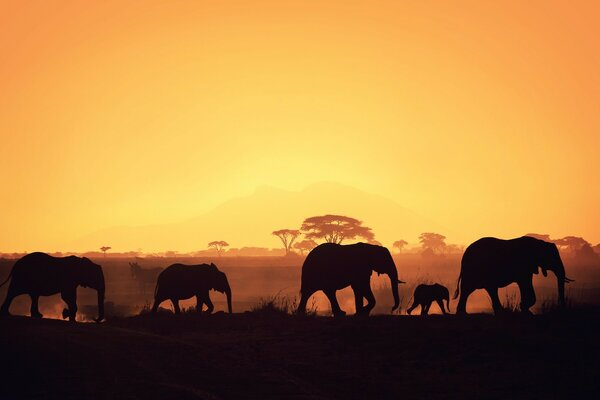 Silhouettes of elephants on a background of Savannah
