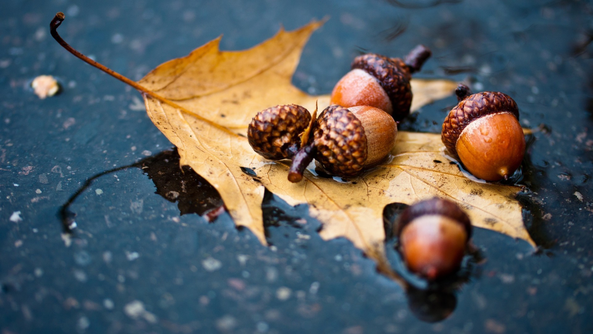 Acorns, an oak leaf in water