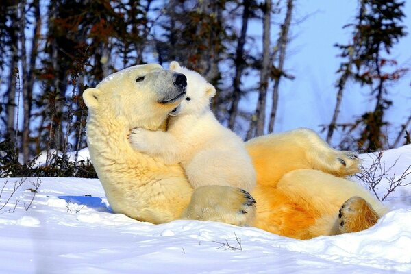 Polar bears - mom and baby