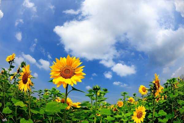 Sunny flowers - sunflowers under blue sky