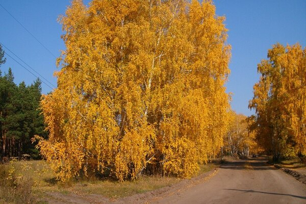 Gold autumn birches...