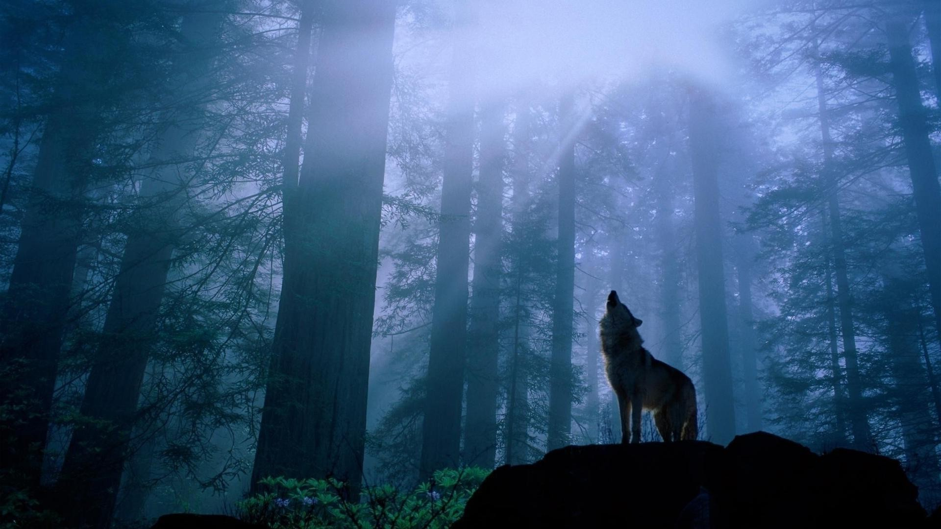 The wolf in the forest