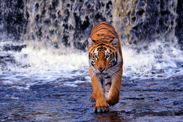 Tiger at the waterfall