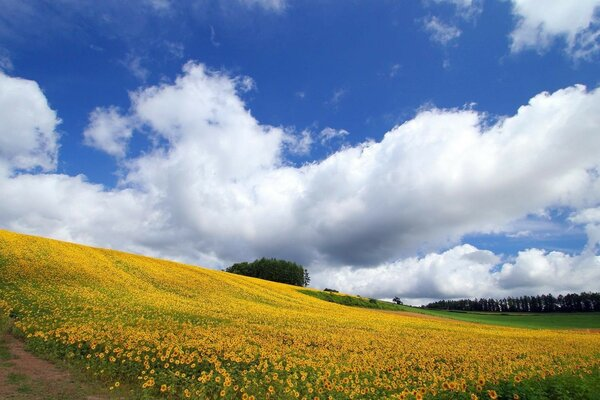 Field of sunflowers under blue sky