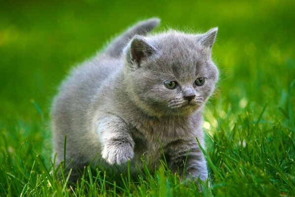 Cute fluffy gray kitten playing on the grass
