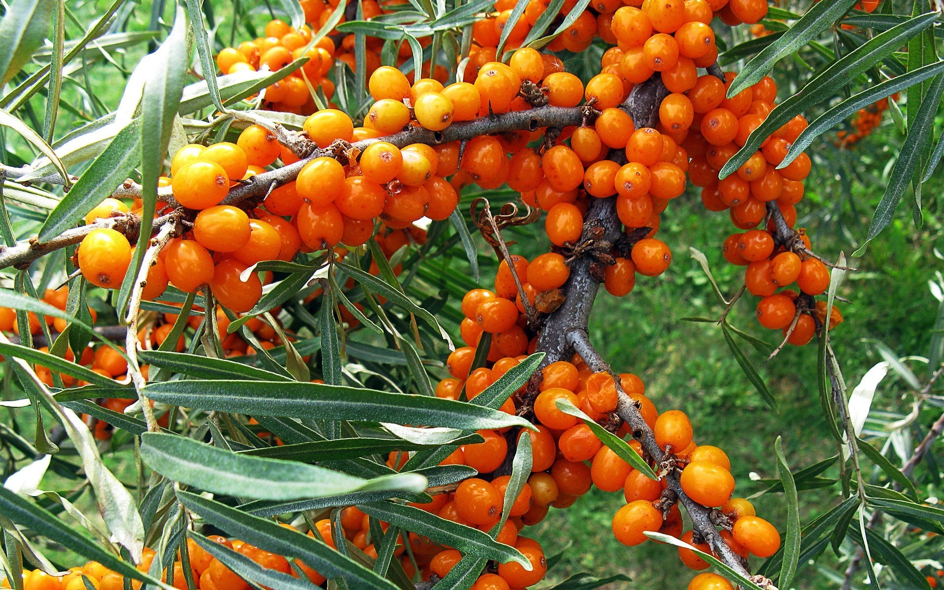 Sea-buckthorn berries.