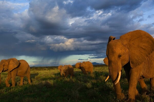 Elephants are migrating across the Savannah
