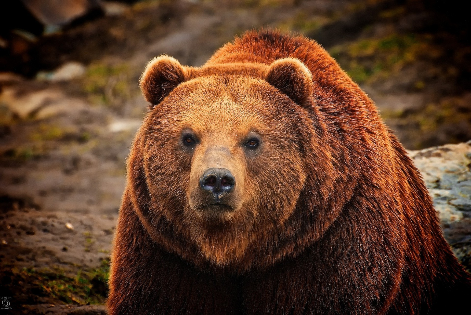 Brown bear watching gaze