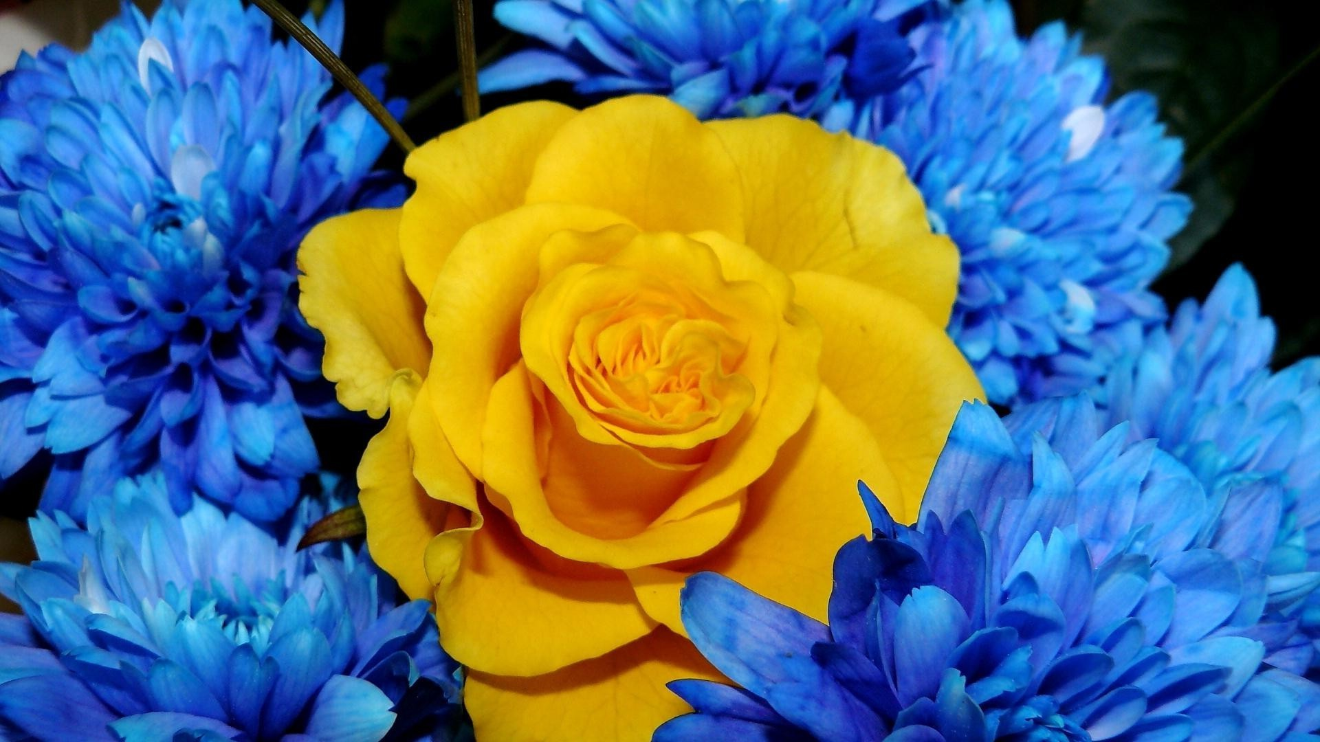 Yellow rose surrounded by blue flowers