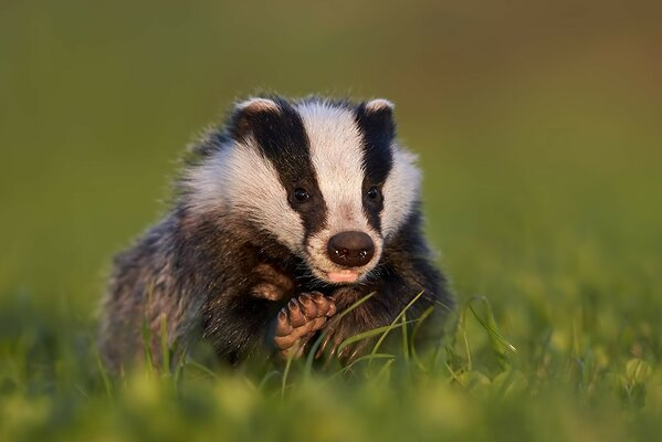 Badger is sitting on green meadow