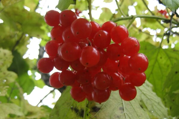 Red snowball tree, guelder rose has risen...