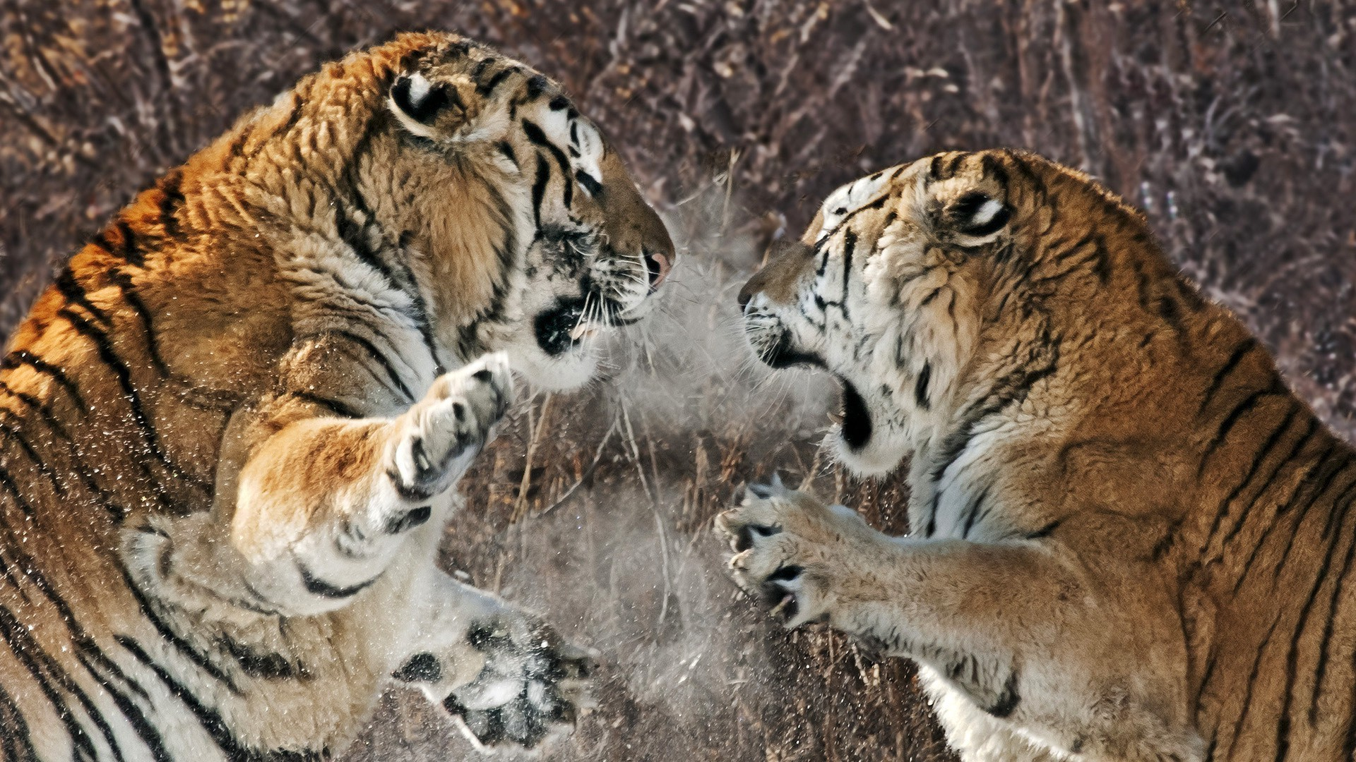 Two tigers fight each other
