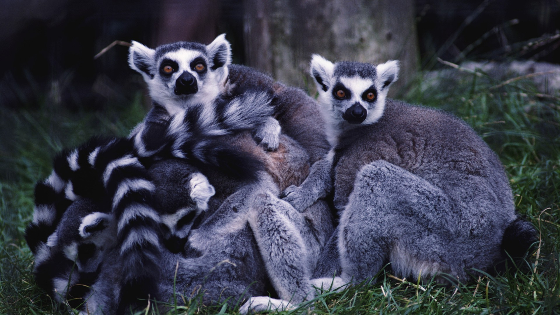 A family of lemurs huddle to each other