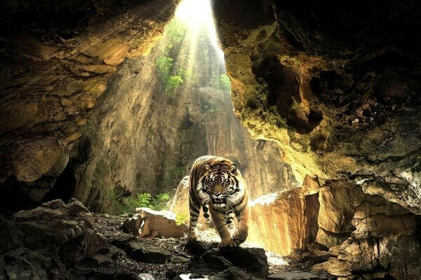 Tiger in a cave illumined by the rays of the sun