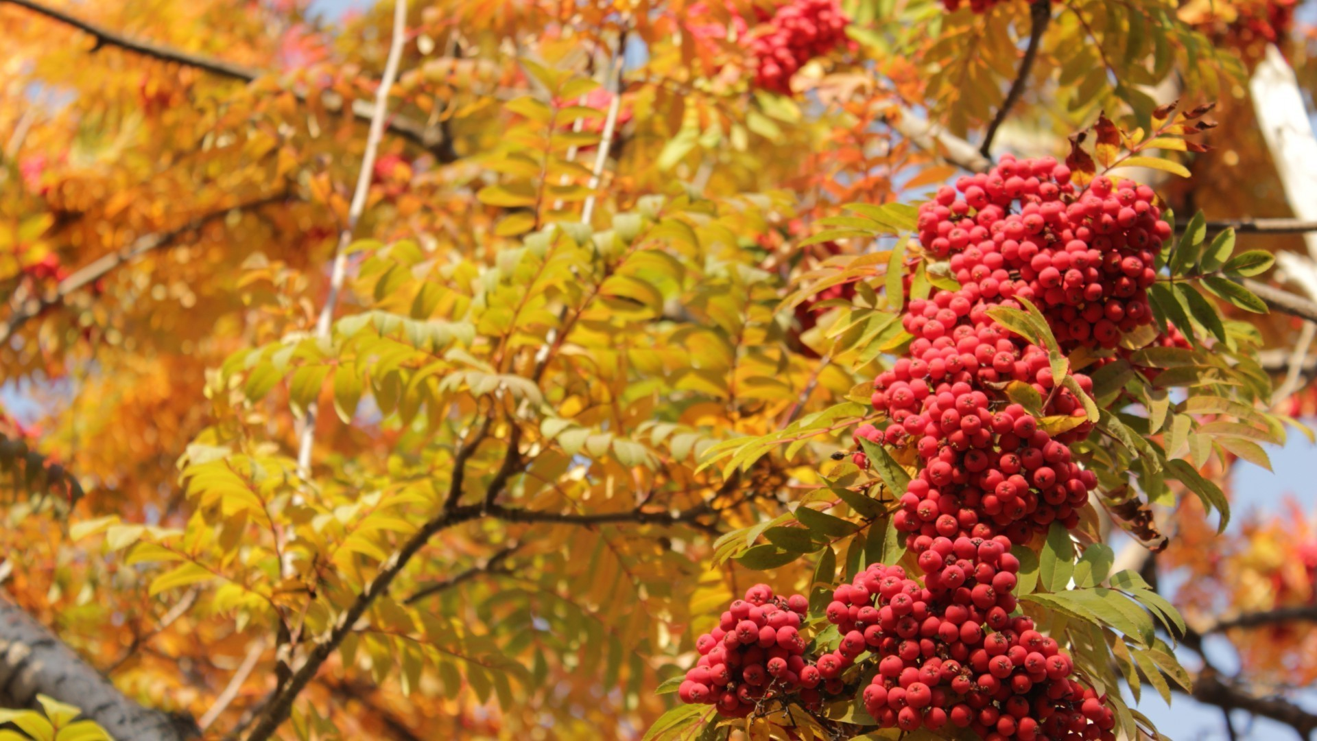 Bunches of Rowan