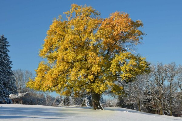 Tree with yellow leaves, snow,house