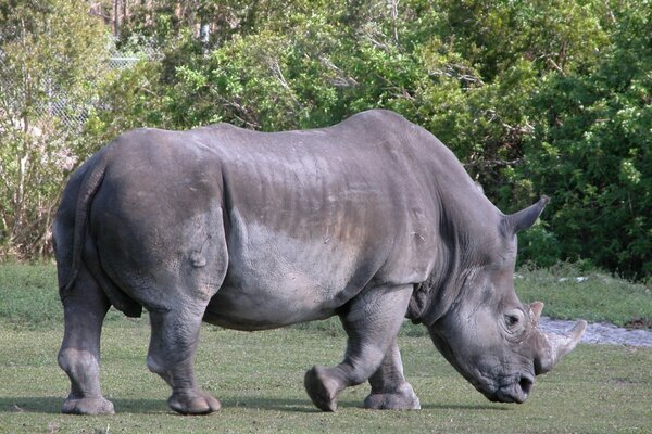 The rhinoceros has poor eyesight, but its size ...