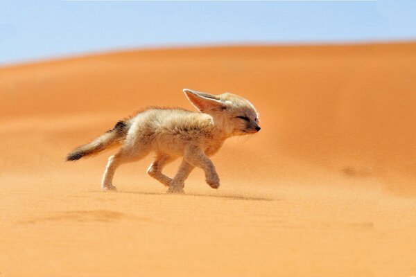 Little Fox goes to the desert