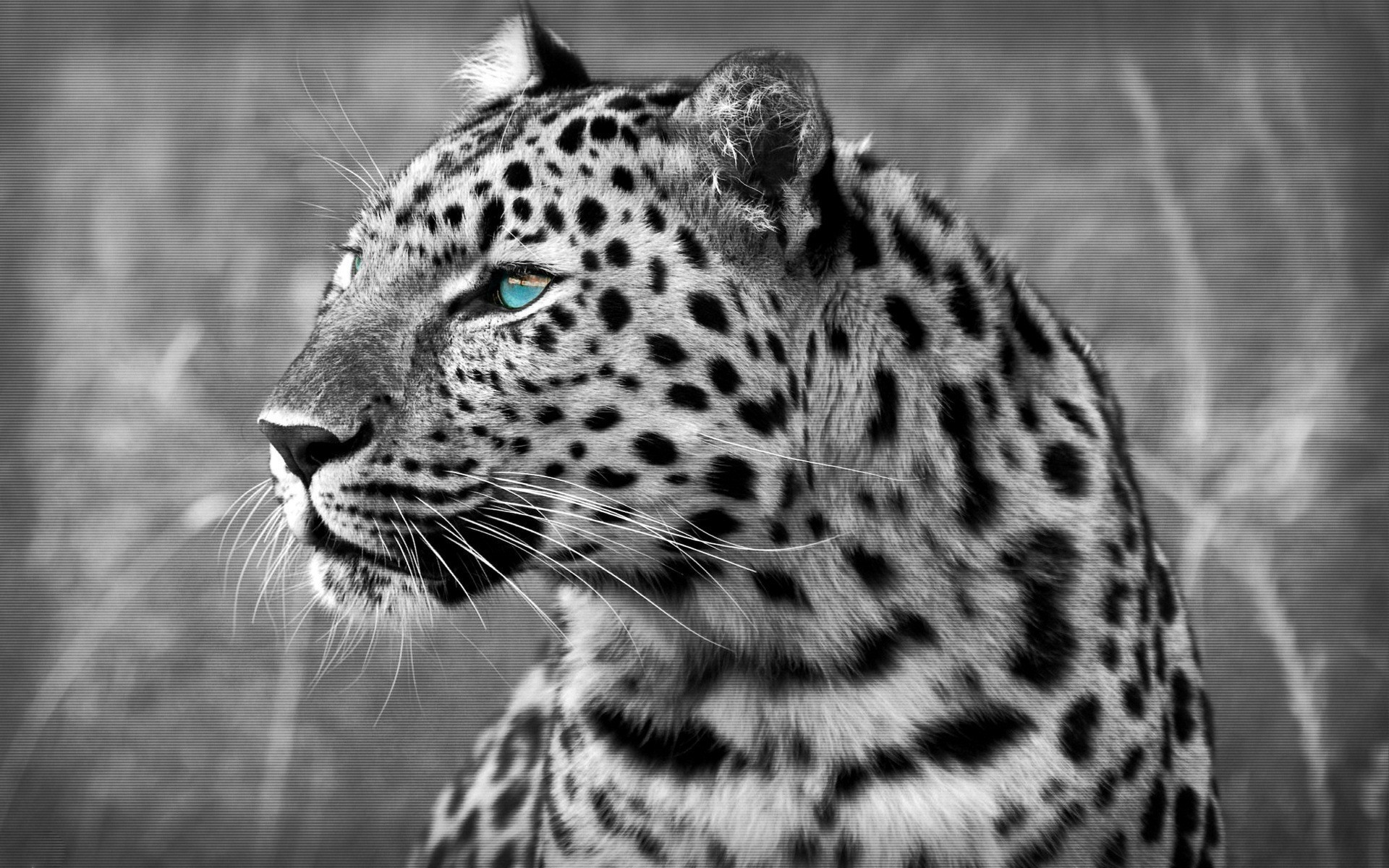 Black-and-white photo of a leopard