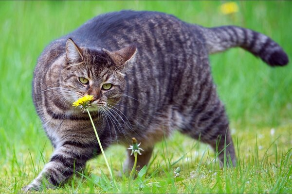 Tabby cat sniffs the dandelions on the meadow