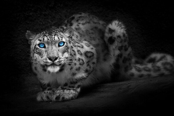The leopard lurks in the night