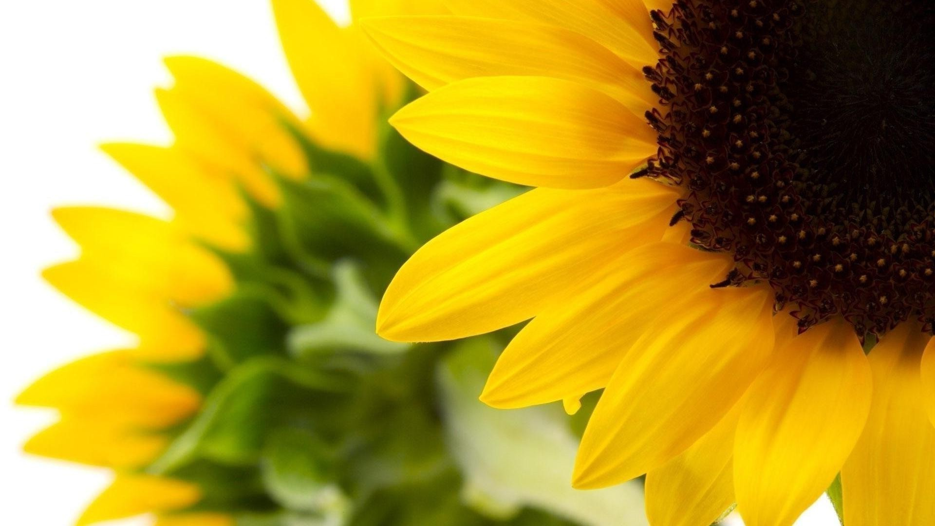 Sunflowers Desktop Wallpapers For Free