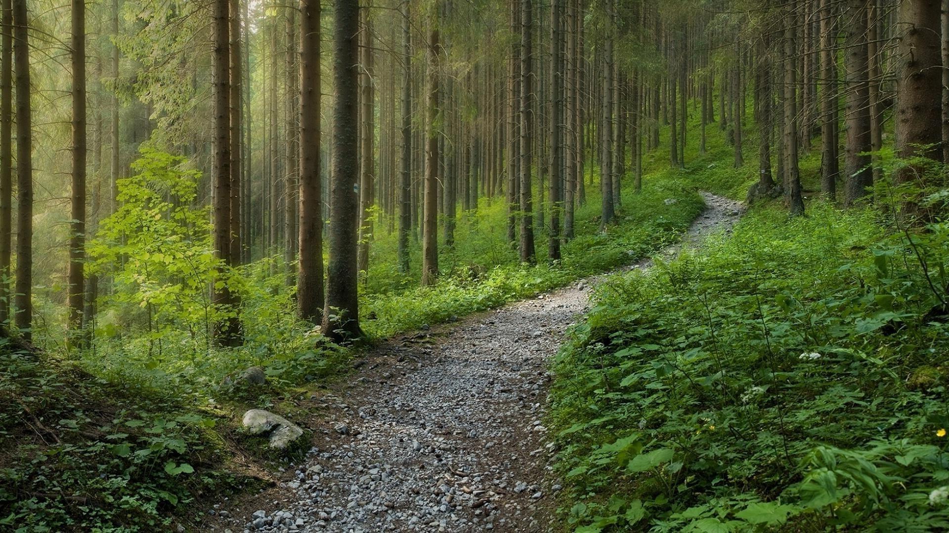 Лес ели тропа загрузить