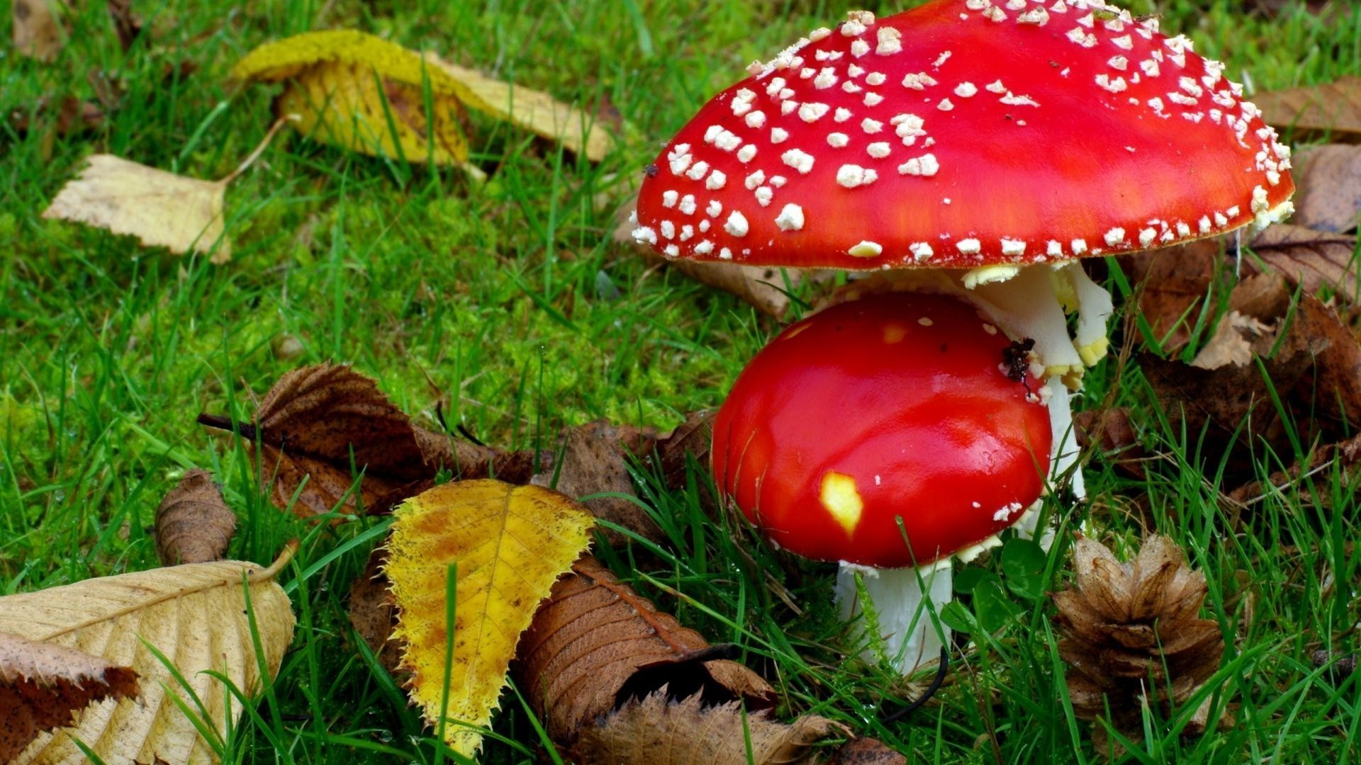 Mushrooms in the green grass and autumn leaves