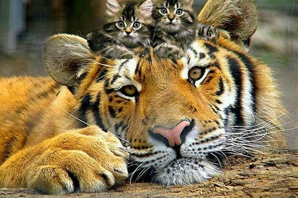 Tiger and kittens - best friends