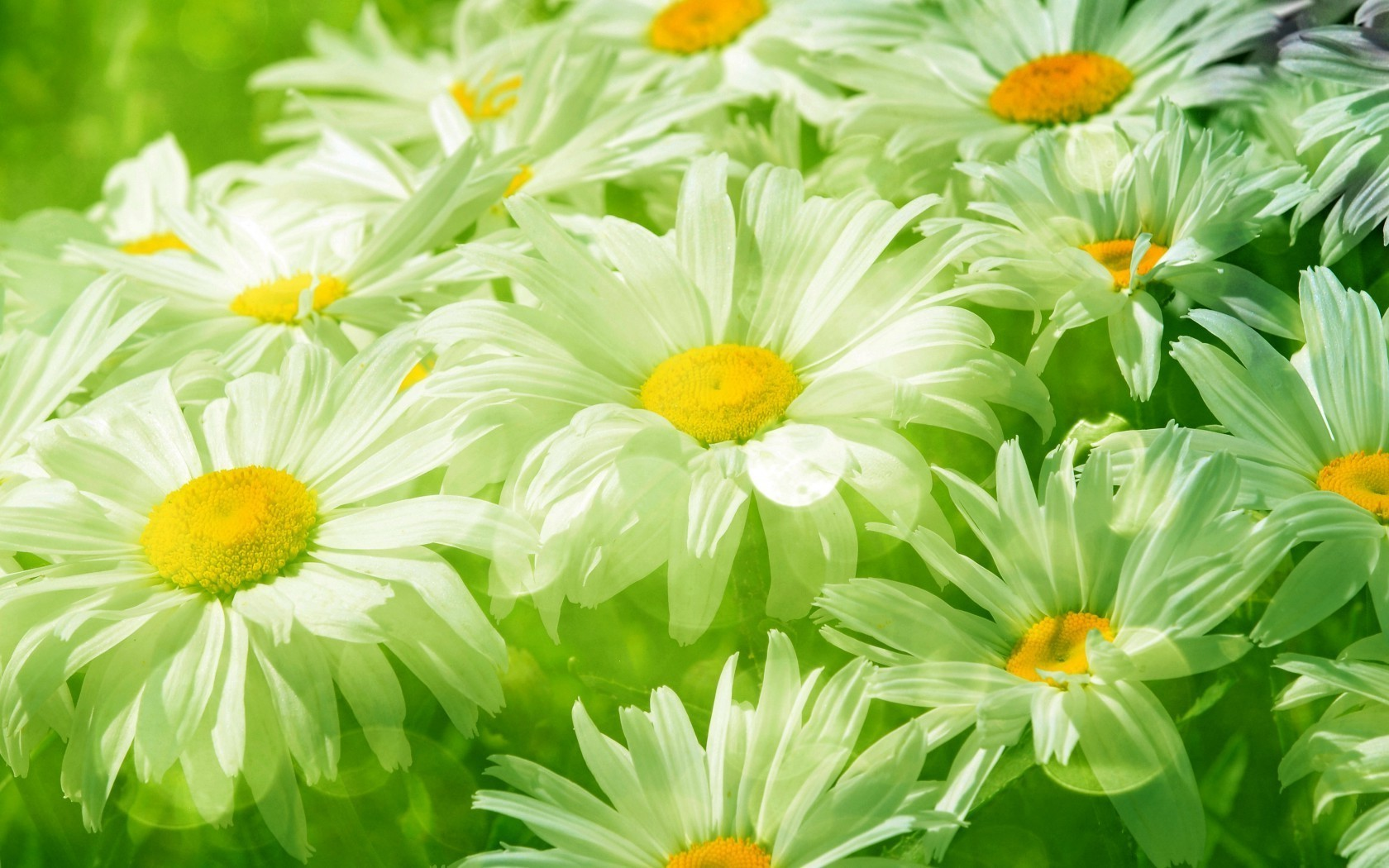 chamomile nature flower flora summer floral leaf garden bouquet petal blooming beautiful color bright head close-up season hayfield