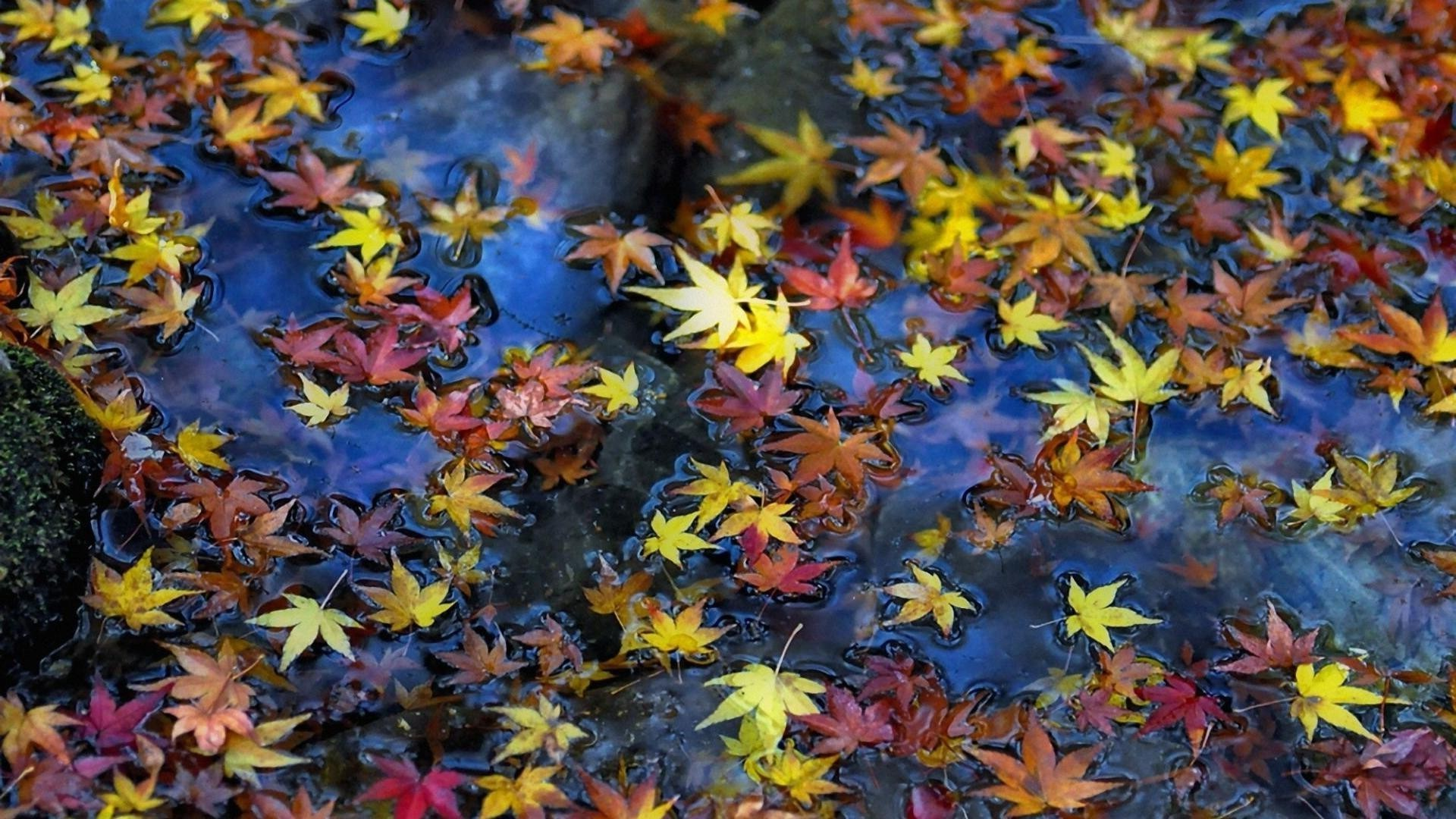 leaves leaf fall maple season nature color flora bright park tree outdoors wood garden vibrant desktop
