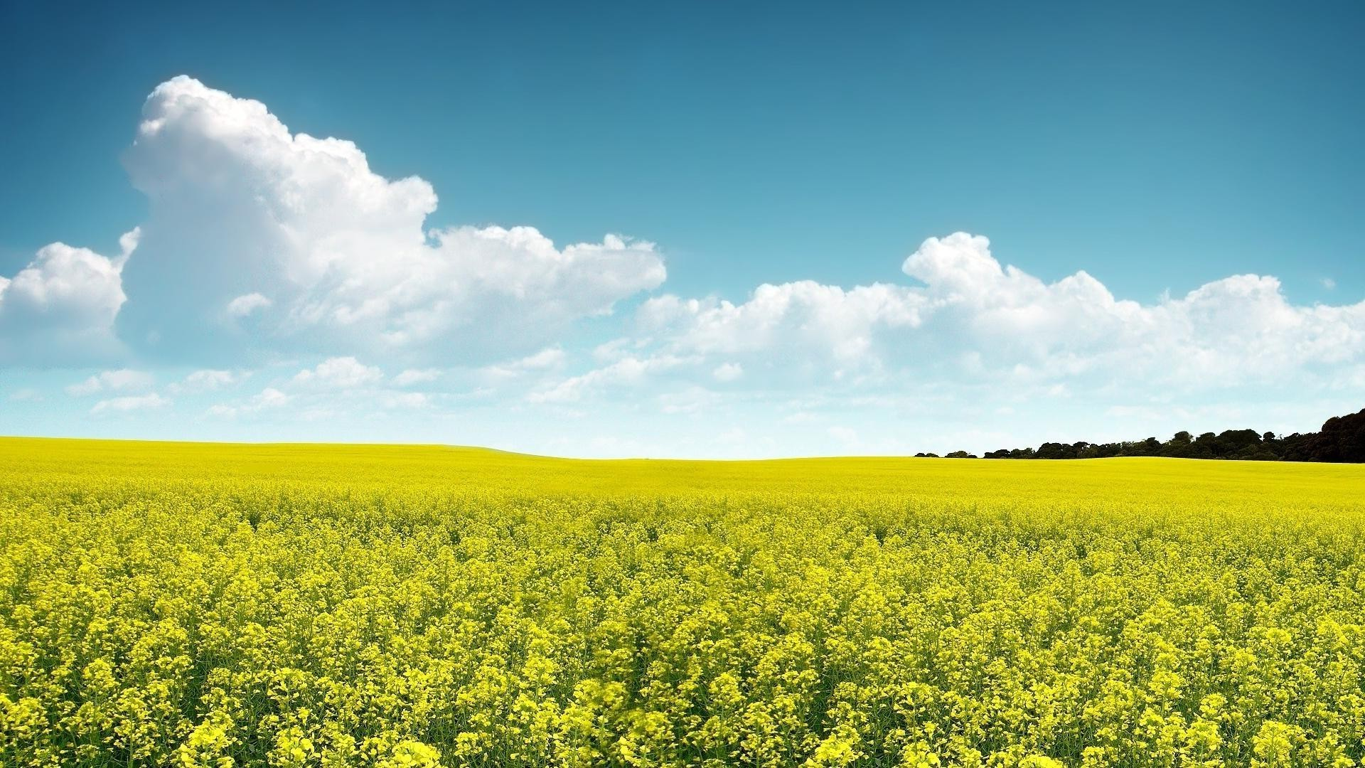 A Field Of Yellow Flowers Android Wallpapers For Free