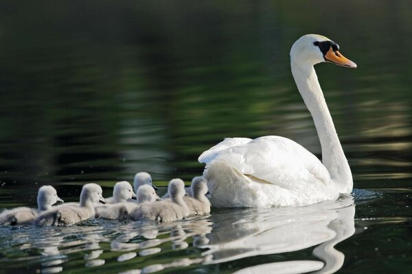 Swan with a brood on the lake