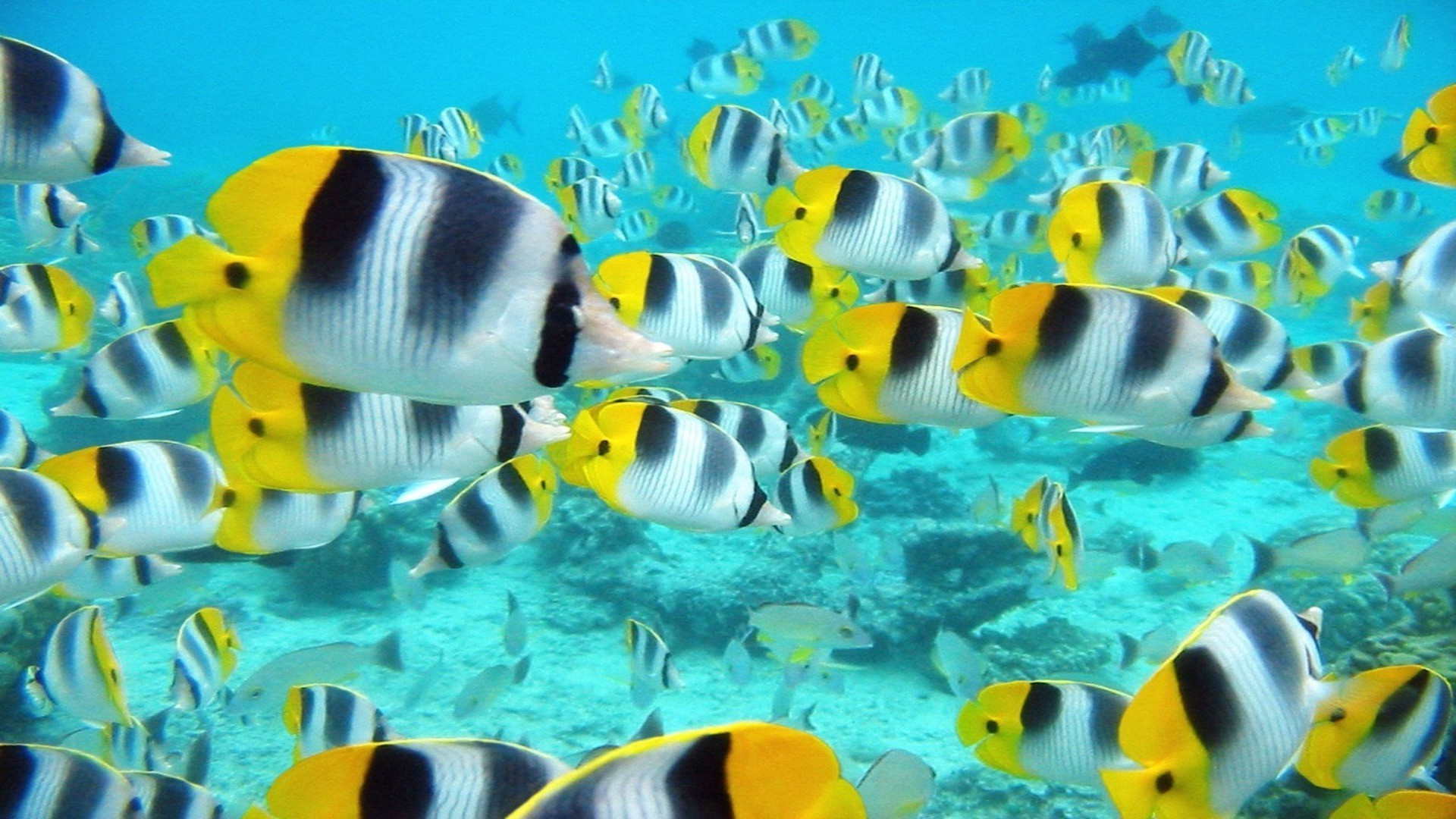 animals underwater fish coral water tropical swimming reef nature sea ocean aquarium wildlife animal deep turquoise angelfish aquatic exotic