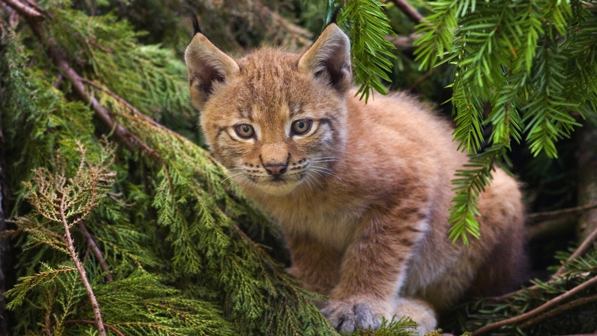 Lynx in the branches of spruce