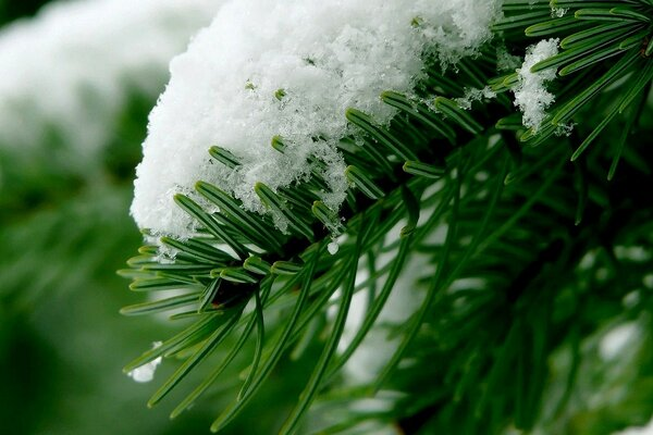 Fir branch in snow