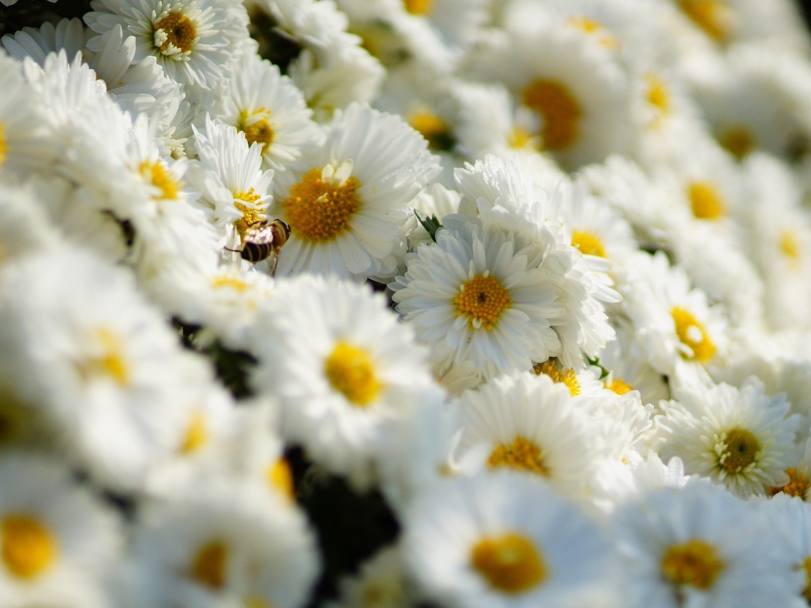 chrysanthemum nature flower flora summer bright floral leaf season garden field petal blooming color close-up chamomile hayfield beautiful bed bouquet