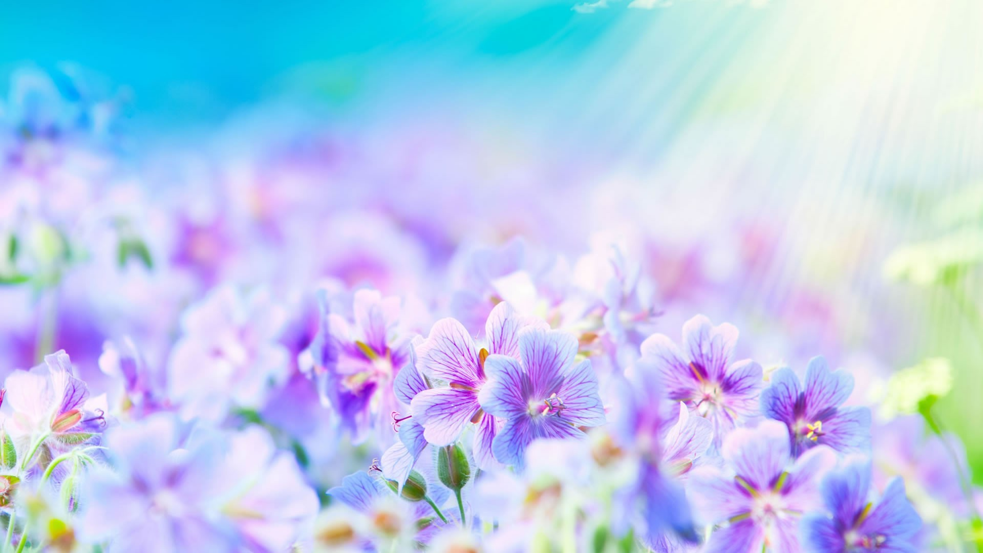 Delicate purple flowers illuminated by the sun