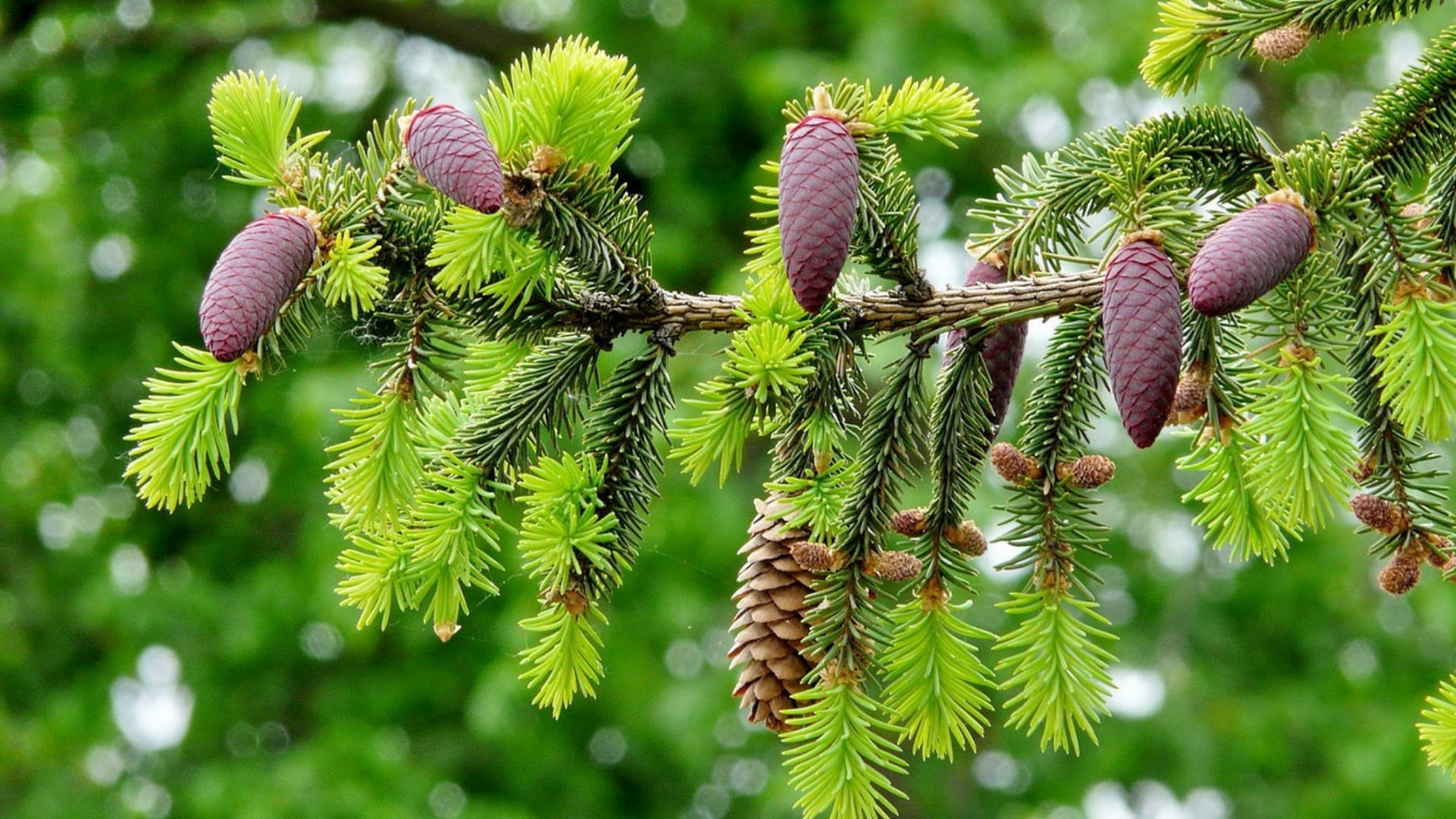 landscapes tree branch nature cone flora evergreen season spruce needle conifer fir coniferous leaf pine close-up outdoors winter decoration bright