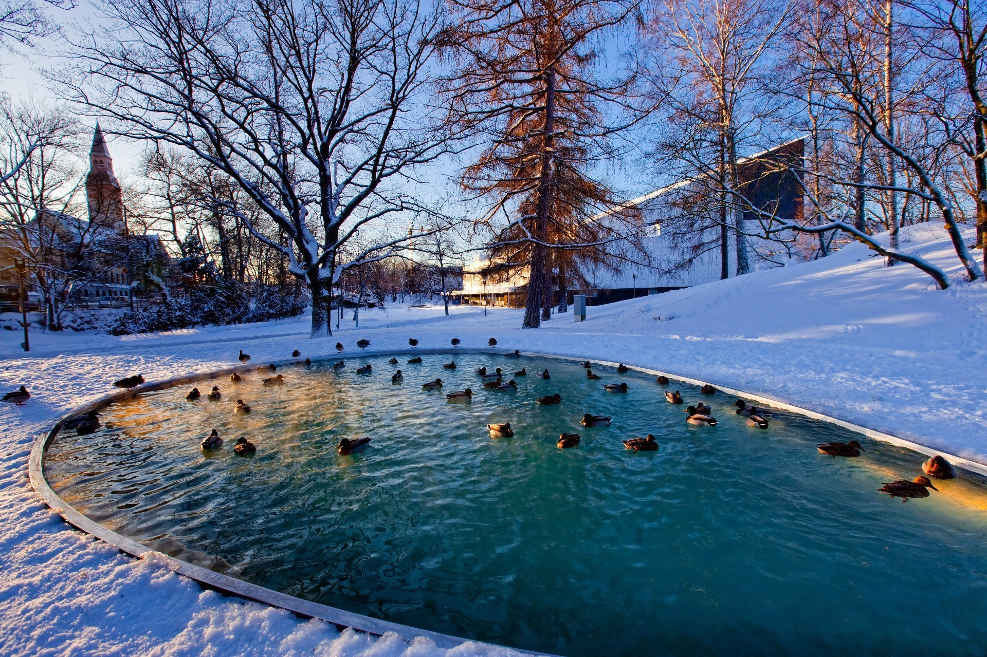 Ducks in an artificial pond in winter