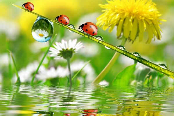 Three ladybugs on a background of dandelion and daisies