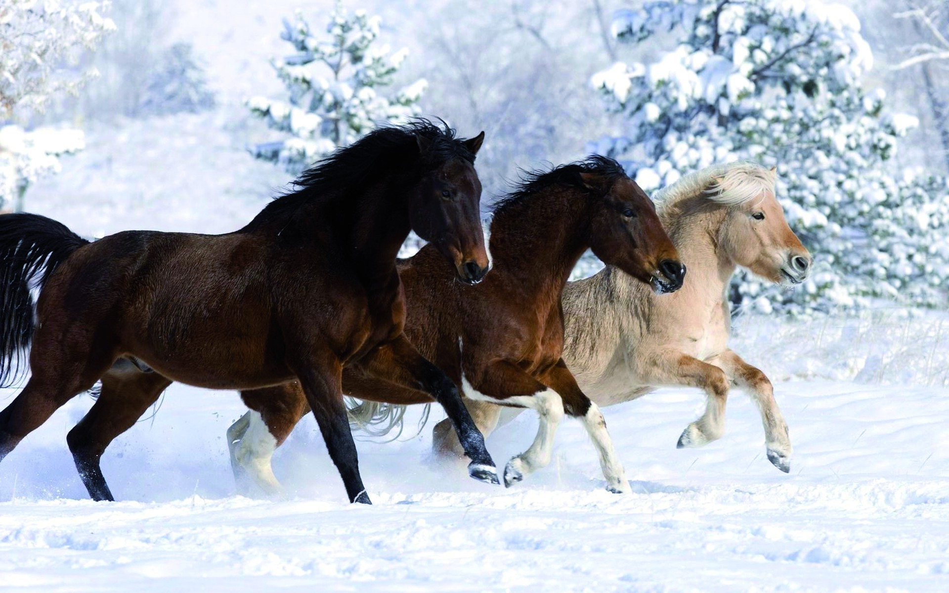 horses horse mammal cavalry equestrian equine stallion animal mane mare winter action thoroughbred gallop snow pony farm fast sitting run