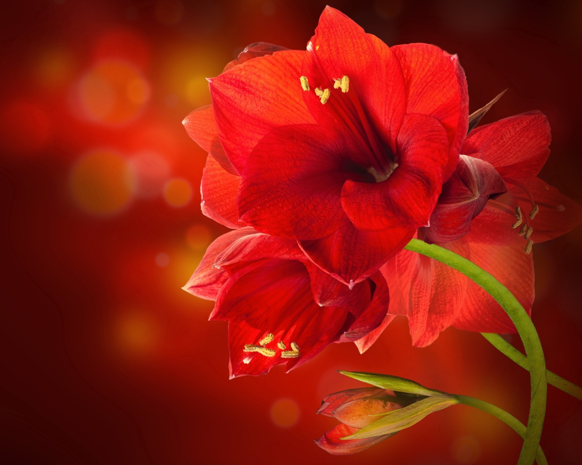 Beautiful red flower android wallpapers for free izmirmasajfo
