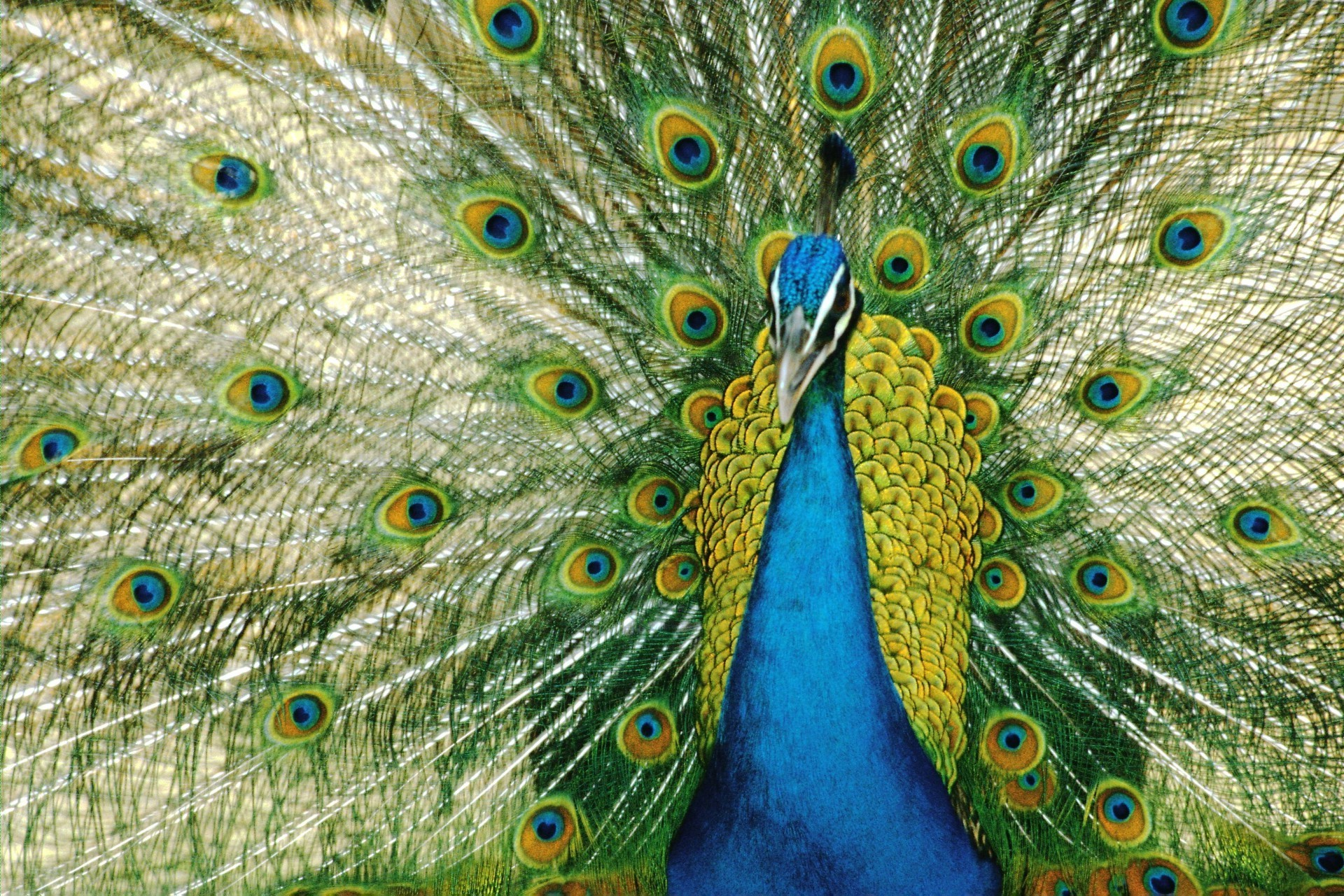 animals peacock pattern feather turquoise tail bird vibrant desktop nature tropical animal texture color bright zoo peafowl wildlife multi exhibition ritual