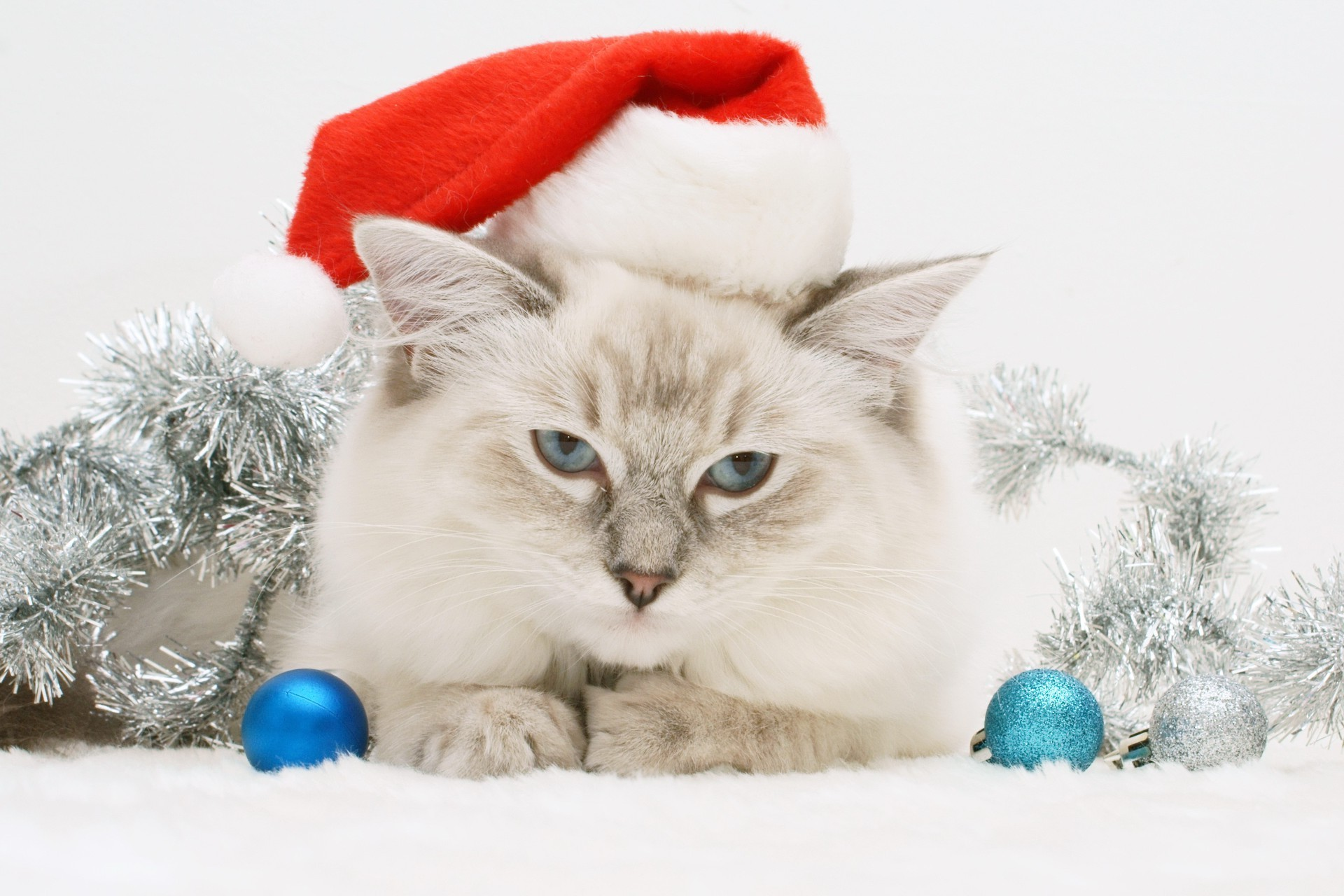 White cat in a Christmas hat