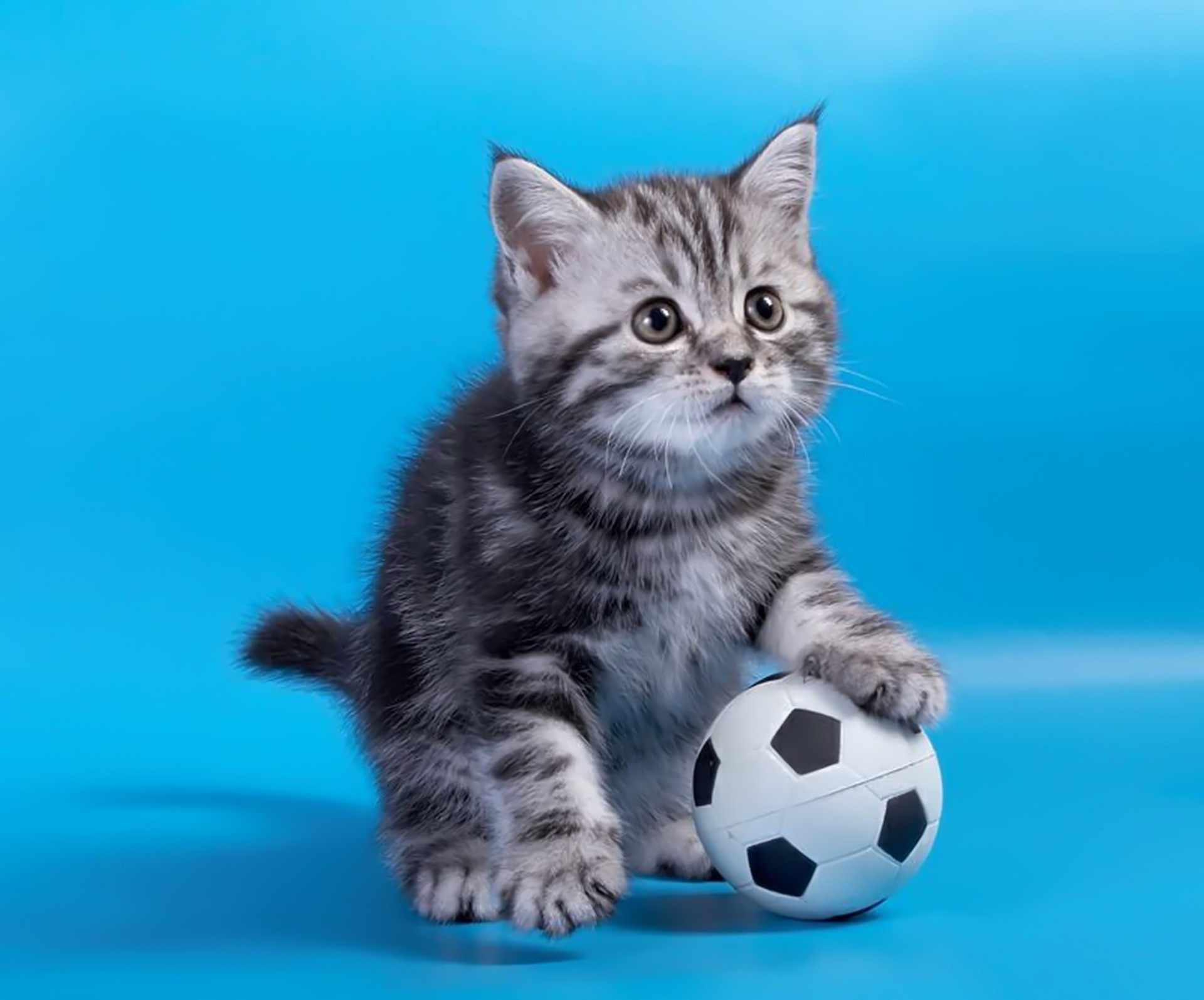 Grey kitten with a soccer ball