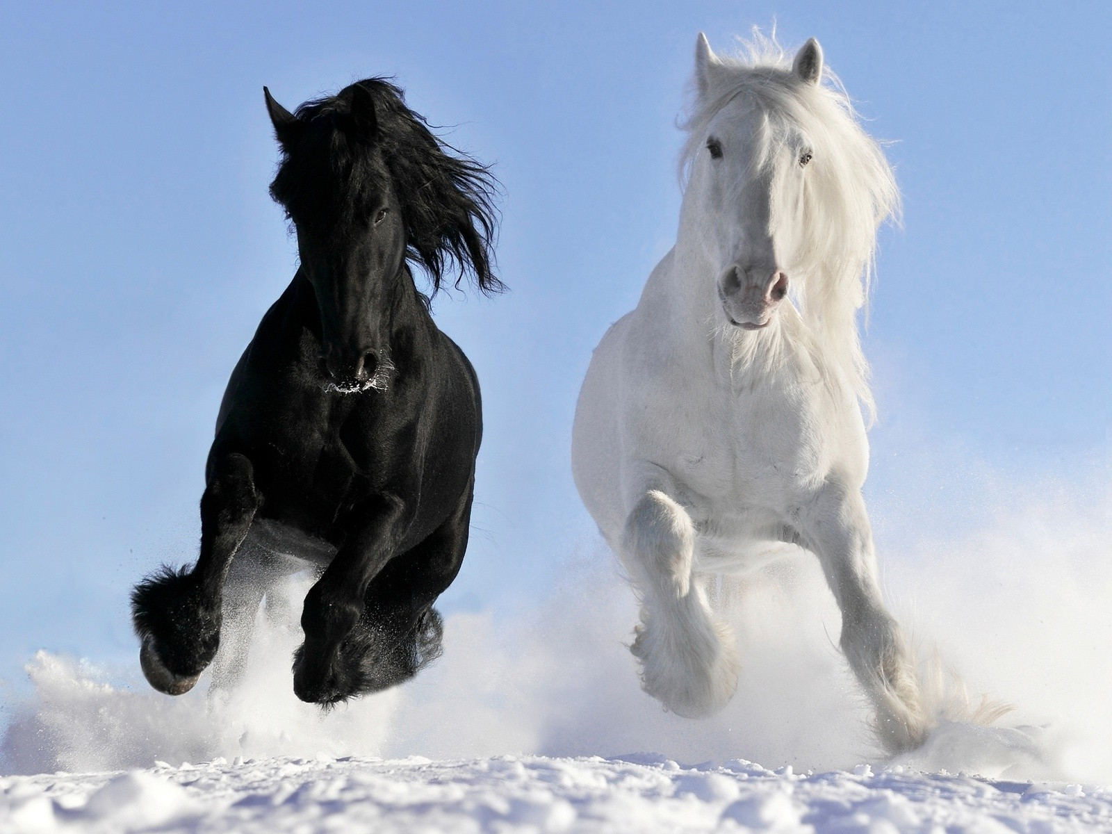 Beautiful White And Black Horses Free Wallpapers