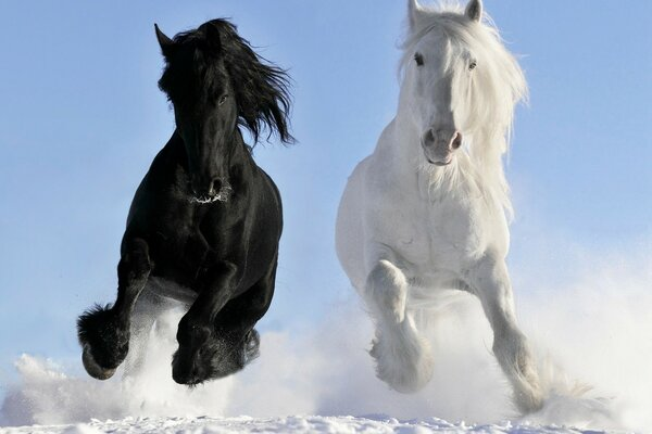 Beautiful white and black horses.