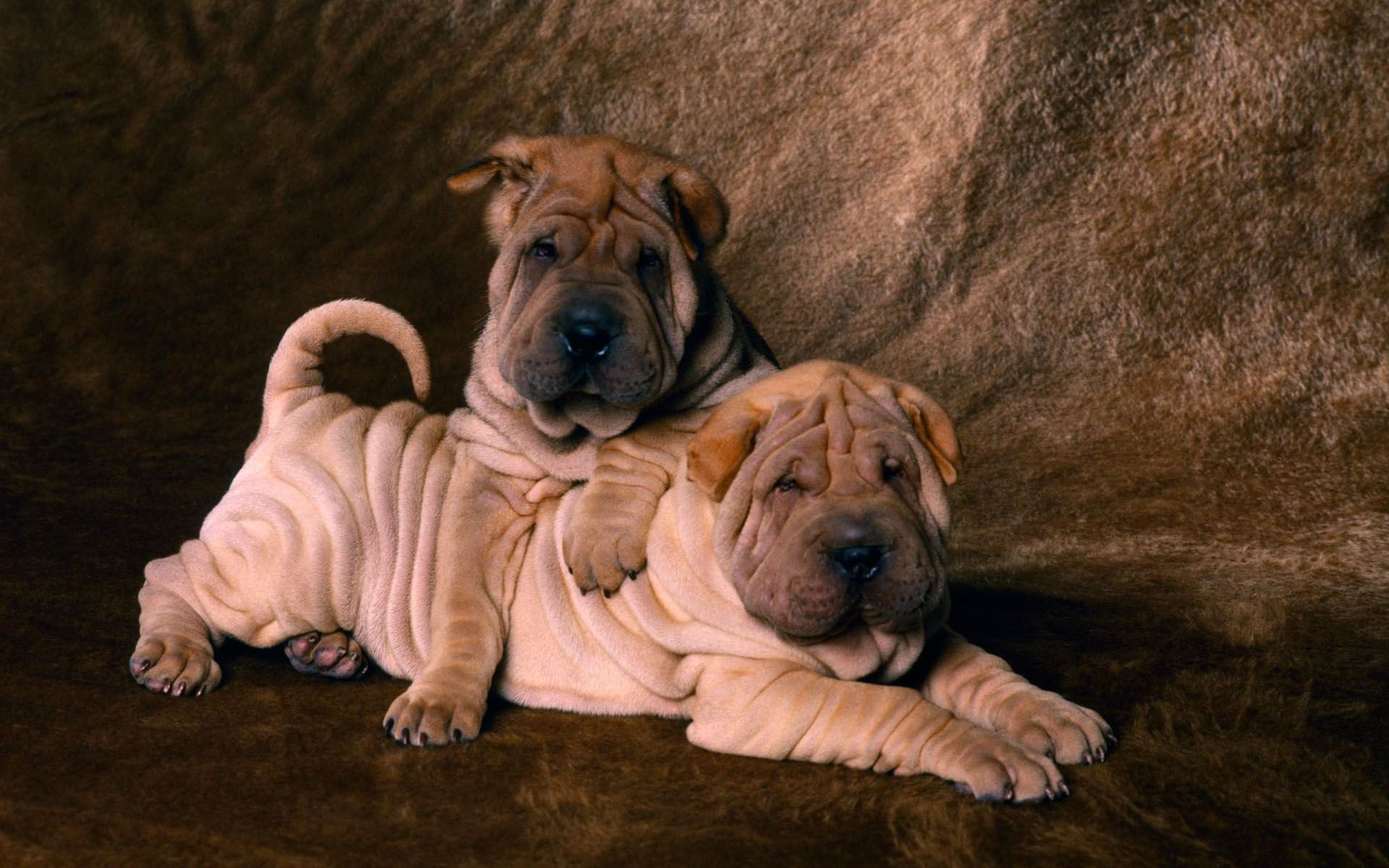 Two cute Shar Pei